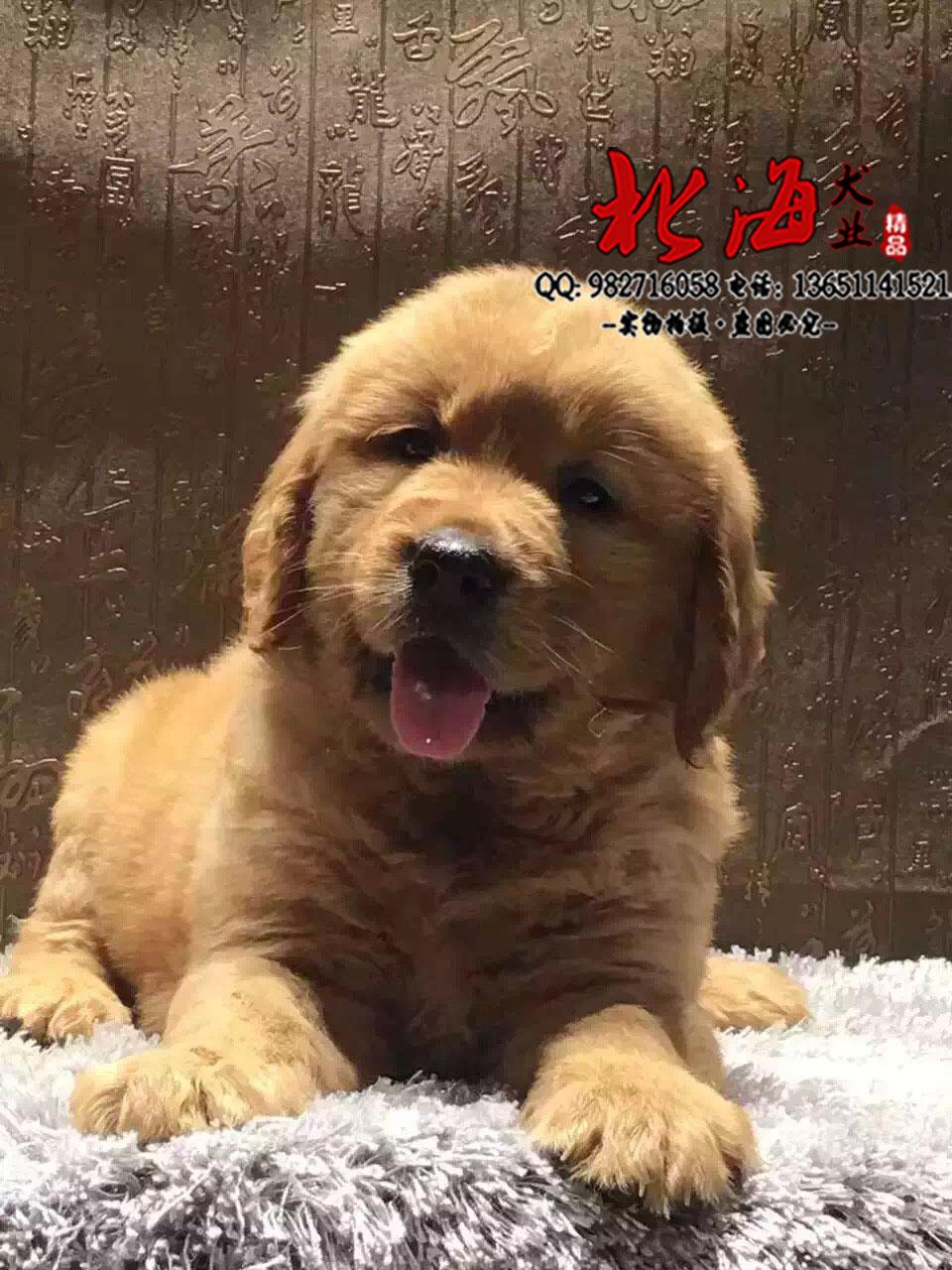 纯种金毛犬多少钱一只 不同地区金毛犬价格不同